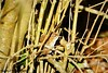 Wren (CJT29) Tags: bird birds woodland blashfordlakes hampshire hiowt outdoors cjt29 wren troglodytestroglodytes
