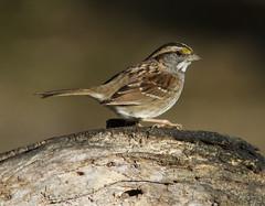 White-throated Sparrow (AllHarts) Tags: whitethroatedsparrow backyardbirds memphistn passionforbirds thesunshinegroup naturesspirit naturescarousel ngc
