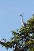 IMG_7921 (jaglazier) Tags: 121717 2017 animals birds copyright2017jamesaglazier december deciduoustrees ecuador napowildlifepreserve naturepreserves orellana trees herons parks orellanaprovince