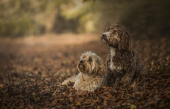 Besties Explored  9-1-18 (Paul`s dog photography) Tags: cutierescuedogsdog woodsforest bokeh canon5dmkiv ef85mm f18usm cockapoo portrait explore