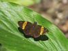 Celaenorrhinus cameroni (Green Baron Pro) Tags: 201712 perlis malaysia butterfly hesperiidae pyrginae