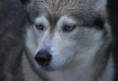 Blue Eyed Husky (swong95765) Tags: dog husky blueeyes cute watching alert adorable animal canine pet