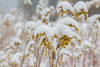 Snow Draped Goldenrod (John Kocijanski) Tags: goldenrod flowers bokeh nature snow winter canon60mmusmmacrolens hbw
