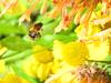Bee...!!! (daveandlyn1) Tags: bee flowers foliage plants sx30is powwrshot canon