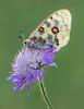 Roter Apollofalter │ Mountain Apollo  │ Parnassius apollo (Bluesfreak) Tags: roterapollofalterparnassiusapollo schmetterlinge tagfalter