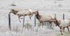 AA2I6605  Tule Elk on Highway 1 (Ashala Tylor Images) Tags: elk tuleelk sanluisobispo highway1