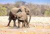 Young Elephants (ch.gunkel) Tags: africa afrika elefant elephant etoscha etosha namibia natur savanne tierwelt nature savanna wildlife