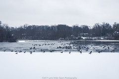Rest Stop (jomak14) Tags: ohio shakerheights snowday wheremyrunningshoestakeme winter2017 iphone6plus horseshoelake geese explored