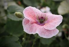 Fragile (Jacko 999) Tags: pink poppy flower petal canon eos 5d mark iii ef35mm f2 is usm ƒ56 350 mm 160 iso100 robert eede