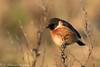 Stonechat (Dougie Edmond) Tags: birds nature wildlife estuary pow burn