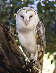 Barn Owl (whereiscarmensd) Tags: owl barn barnowl smile wild wildlife travel outdoors australia park animal animals bird birds nature natural native
