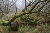 In Winter's arms (2) (Nadine Le Goff) Tags: hiver winter bois woods marsh brume mist moss arbre tree mousse bog swamp marais marécage