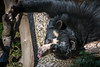 Upside Down Greeting (helenehoffman) Tags: spectacledbear bear alba conservationstatusvulnerable mammal sandiegozoo ursidae southamerica carnivore andeanbear tremarctosornatus