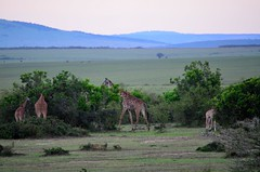 DDR_3680 (Santiago Sanz Romero) Tags: kenya wildlife animales ngc
