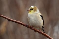 American Goldfinch (jlcummins - Washington State) Tags: bird home backyardbirds washingtonstate yakimacounty sunrays5 coth5