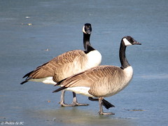 Geese on Ice. (~~BC's~~Photographs~~) Tags: bcsphotographs canonsxcamera canadageese freemanlake etownkentucky birds ice winter outdoors water closeups kentuckyphotos ourworldinphotosgroup earthwindandfiregroup explorekentucky