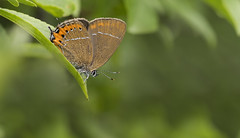 Black Hairstreak (Satyrium pruni). (Bob Eade) Tags: butterflies blackhairstreak cambridgeshire monkswood satyriumpruni lepidoptera summer hairstreak black woodland wildlife nature macro micro butterfly