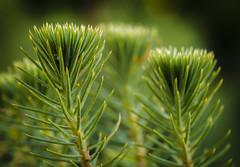 7P7A9935 (1) (Mark Ritter) Tags: pine needles christmas macro closeup