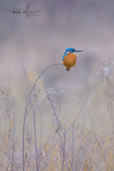 Kingfisher (Kutub Uddin...) Tags: canon 7d ii nature kingfisher tamron 150600mm g2 wildlife ukbird