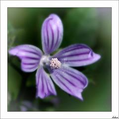 Malva (V- strom) Tags: malva mallow macro macrophotography macrofotografía verde green nikon nikon105mm nikond700 polen pollen texturas textures flora flower luz light flor planta