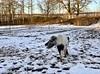Här kommer hon… (Patrick Strandberg) Tags: sweden östergötland bergagård freyda freydafrånblixtorp icelandichorse islandshäst horse häst iphone iphonex