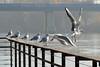 ...en perfecta armonía (josemonreal) Tags: rio gaviota ebro zaragoza aves armonia