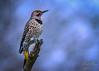 Northern Flicker - Gloomy Morning (dbking2162) Tags: birds bird nature nationalgeographic northernflicker wildlife rain gloomy morning yellow red indiana woodpecker