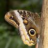Caligo memnon (Ouwesok) Tags: canoneos30d tamron2890mm sigmaem140dg caligomemnon uilvinder vlinder insect vlindertuin burgersmangrove