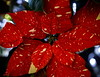 Eye Of The Beholder (Bert CR) Tags: christmas flower pointsettia beauty merrychristmas holiday celebration eyeofthebeholder hope peace happiness life