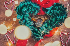 Christmas Eve-Eve (City Turtles) Tags: dslr reptile xmas wreath hearts heart candy indoors warmth dof bokeh photography canon photo flickr instagram celebrate festive holiday christmas cute love animal pet turtle