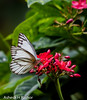 Striped albatross (asheshr) Tags: beautifulmacro butterfliesofindia butterfliesofodisha butterfliesoforissa butterfly butterflymacro butterflyonaflower d7200 macro macrophotography nikkor200500 nikon nikon200500mm nikond7200 stripedalbatross appiaslibythea