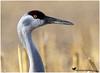 WINTER MORN ... (Aspenbreeze) Tags: sandhillcrane crane bird wildbird largebird avian aviary wildlife birds cranes winter cornfield field coloradowildlife migration flyway nature rural colorado bevzuerlein aspenbreeze moonandbackphotography