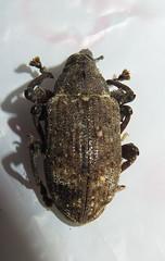 Curculionoidea; 20170605; PA-Colón-Gamboa (plantpollinator) Tags: coleoptera curculionoidea