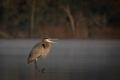 Commentary (gseloff) Tags: greatblueheron bird morning mist water nature wildlife animal mudlake bayou armandbayou pasadena texas kayak gseloff