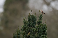 Hawfinch (Male) Great Gaddesden 01-01-2018-0497 (seandarcy2) Tags: hawfinch finch winter migrant woodland grossbeak