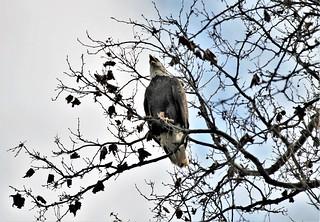 Conowingo Dam ~ The Eagle Has Landed