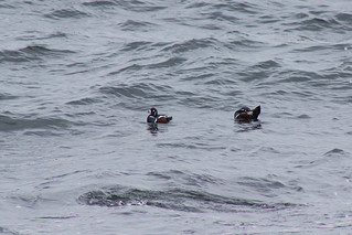 Harlequin Ducks (both male)