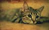 Rest ... (Julie Greg) Tags: pet kitten cat animal rest portrait