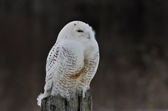 Snowy Owl (hd.niel) Tags: snowyowl owls snowies nature photography wildlife ontario
