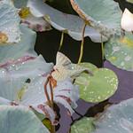 Pearl effect of lotus flowers thumbnail