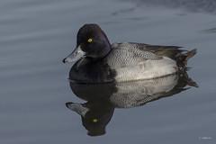 Lesser Scaup / Petit fuligule (shimmer5641) Tags: aythyaaffinis lesserscaup petitfuligule divingduck birdsofbritishcolumbia birdsofnorthamerica