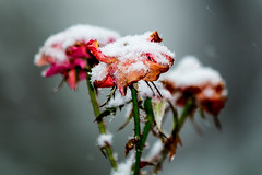 December's Rose (Joe'sMom Photography) Tags: rose december flowers season nature floral winter frostbite weather petals snow