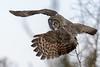Great Gray Owl-46077.jpg (Mully410 * Images) Tags: saxzimbog birding greatgrayowl birds birder bird birdsofprey avian birdwatching owl raptor birdsinflight bog