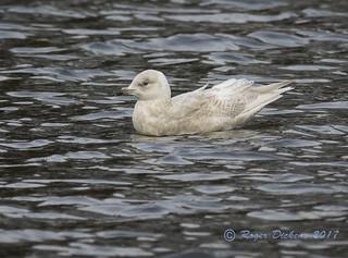 Iceland gull 08