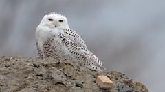Snowy Owl (Hanzy2012) Tags: toronto ontario canada wildlife bird snowyowl buboscandiacus harfangdesneiges nikon d500 afsnikkor500mmf4difedii