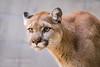 DSC07012 (montusurf) Tags: puma mountain lion cougar san diego zoo california cat predator feline zoosofnorthamerica