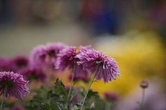 Beautiful bokeh (hasham2) Tags: bokeh flowers beautiful dof sony a7r yn 100mm f2 manual focus sonyflickraward