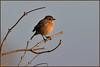 Stonechat (Full Moon Images) Tags: burwell wicken fen nt national trust wildlife nature reserve cambridgeshire bird stonechat