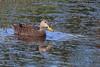 Mottled Duck (TomLamb47) Tags: nature wildlife bird duck modu mottled pond marsh wildwoood florida canon 1d4 1dmarkiv 100400mm