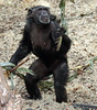 chimpanzee Burgerszoo BB2A6400 (j.a.kok) Tags: chimpansee chimpanzee animal aap ape burgerszoo mammal monkey mensaap pantroglodytes primaat primate africa afrika zoogdier dier